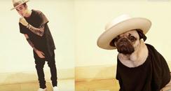 Justin Bieber pug